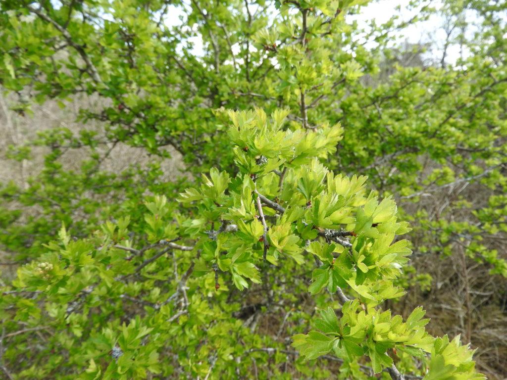 Aubépine les plantes et la géobiologie